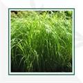 Злаки и травы