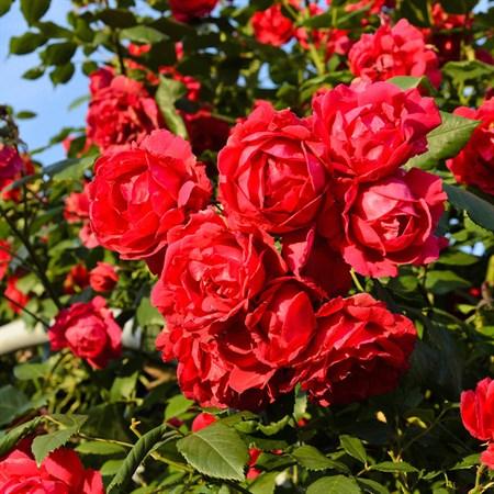 "Роза ""Paul Scarlet Climber"" - фото 5245"