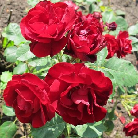 """Роза """"Hope for Humanity"""" - фото 5248"""