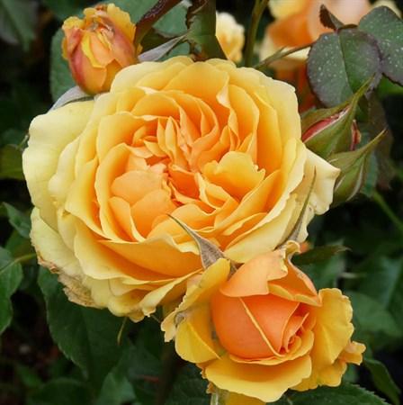 "Роза ""Amber Queen"" (Harroony) - фото 5254"