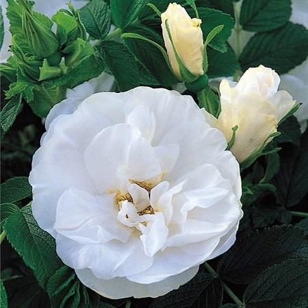 """Роза """"Blanc Double de Coubert"""" - фото 5269"""