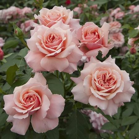 "Роза ""Botticelli"" (Meisylpho) - фото 5271"