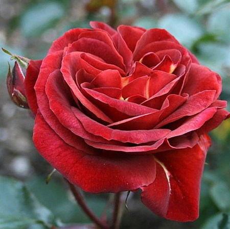 "Роза ""Brown Velvet"" (Macultra) - фото 5275"