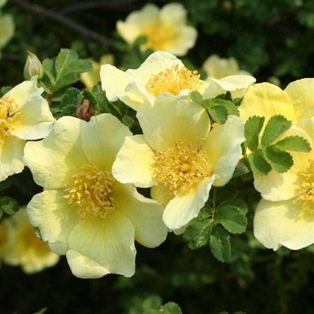 "Роза ""Canary Bird"" - фото 5282"