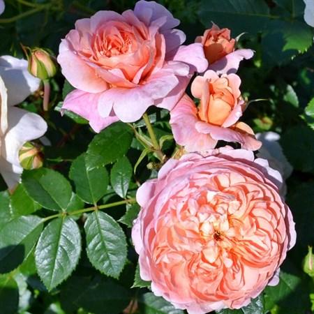 """Роза """"Colette"""" (Meiroupis) - фото 5289"""