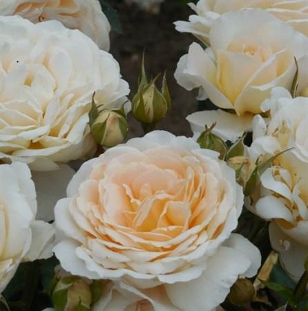 """Роза """"Cream Abundance"""" (Harflax) - фото 5291"""