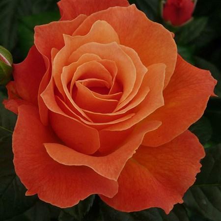 """Роза """"Fellowship"""" (Harwelcome) - фото 5305"""