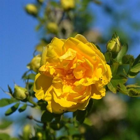 "Роза ""Foetida Persian Yellow"" - фото 5309"