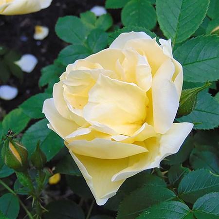 "Роза ""Gelbe Dagmar Hastrup"" (Moryelrug) - фото 5318"