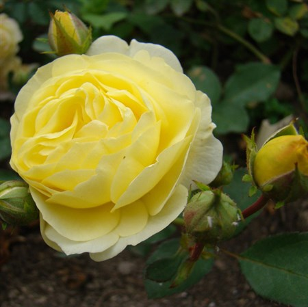 "Роза ""Golden Border"" (Havobog) - фото 5321"