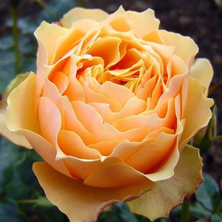 "Роза ""Henrietta Barnett"" (Harmaxim) - фото 5327"