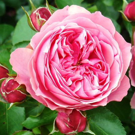 "Роза ""Leonardo da Vinci"" (Meideauri) - фото 5332"