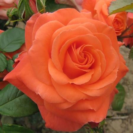 """Роза """"Newsflash"""" (Kendutch) - фото 5354"""