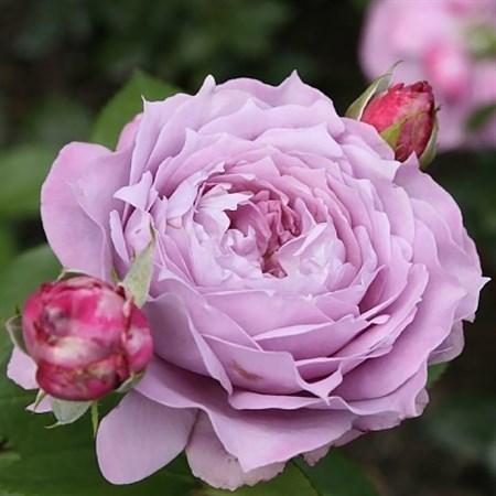 "Роза ""Novalis"" (Korfriedhar) - фото 5358"