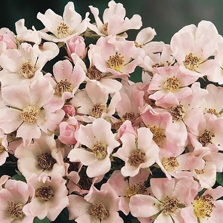 """Роза """"Nozomi"""" - фото 5362"""