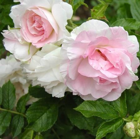 "Роза ""Polareis"" (Stronin) - фото 5378"