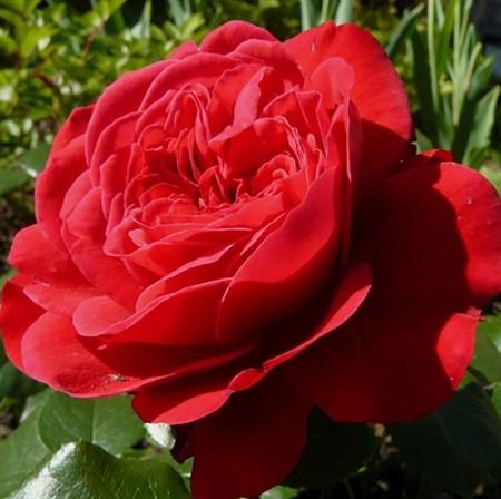 """Роза """"Red Leonardo da Vinci"""" (Meiangele) - фото 5393"""