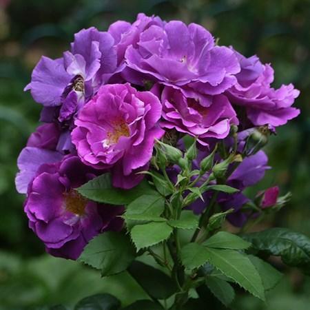 "Роза ""Rhapsody in Blue"" (Frantasia) - фото 5399"