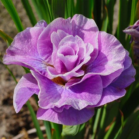 "Ирис сибирский ""Pink Parfait"" - фото 5581"