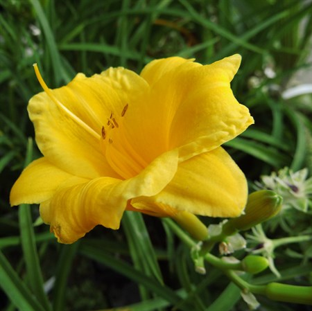 "Лилейник ""Stella de Oro"" - фото 5690"