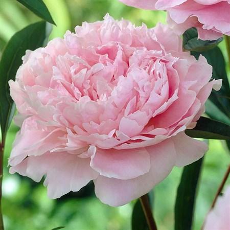 """Пион молочноцветковый """"Sarah Bernhardt"""" - фото 5728"""