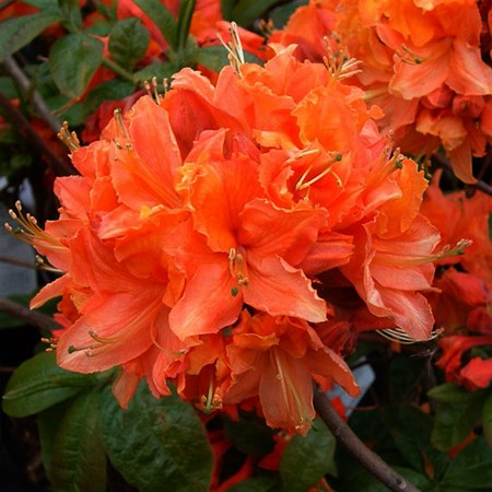 """Азалия """"Mandarin Lights"""" - фото 5815"""