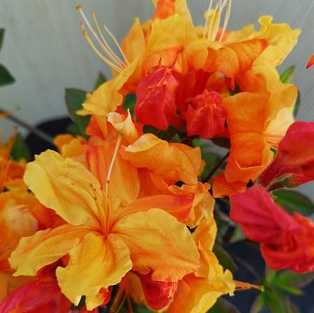 "Азалия ""Sunte Nectarine"" - фото 5830"