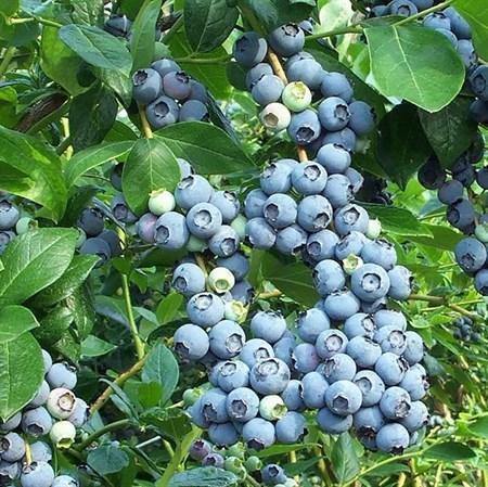 Голубика садовая - фото 5831