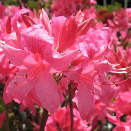 "Азалия ""Rosy Lights"" - фото 5838"