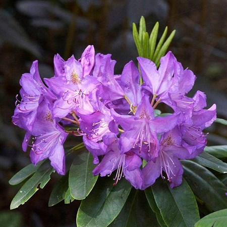 "Рододендрон ""Purpureum Grandiflorum"" - фото 5844"