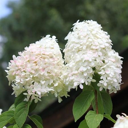 "Гортензия метельчатая ""Little Blossom"" - фото 5897"
