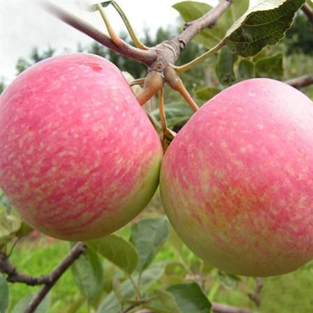 """Яблоня домашняя """"Грушовка"""" - фото 6285"""