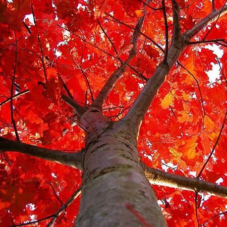 Дуб красный - фото 6328
