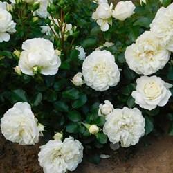 """Роза """"White Meidiland"""""""