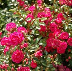 "Роза ""Lovely Fairy"""