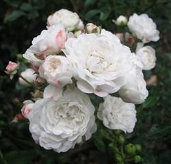 """Роза """"Crystal Fairy"""""""