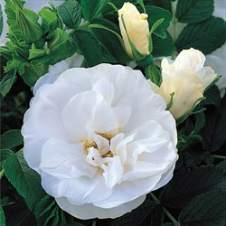 """Роза """"Blanc Double de Coubert"""""""