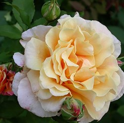 "Роза ""Caramella"" (Korkintera)"