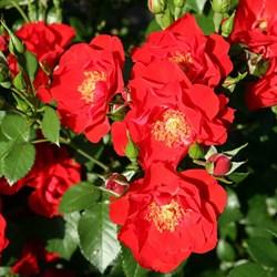 """Роза """"Chimo"""" (Intercher)"""
