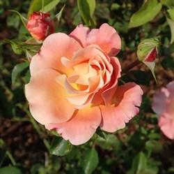 """Роза """"Cubana"""" (Korpatetof)"""