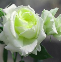 """Роза """"Elfe"""" (Tanelfe)"""