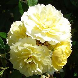 "Роза ""Golden Mozart"""