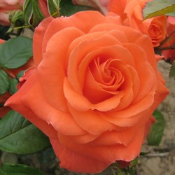 "Роза ""Newsflash"" (Kendutch)"