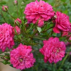 "Роза ""Purple Rain"" (Korpurlig)"