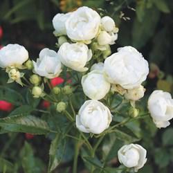 """Роза """"White Morsdag"""""""