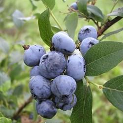 """Голубика садовая """"Bluecrop"""""""