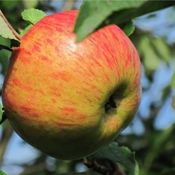 """Яблоня домашняя """"Медуница"""""""