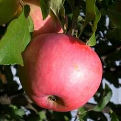 """Яблоня домашняя """"Июльское"""""""