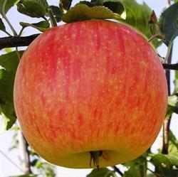 """Яблоня домашняя """"Мельба"""""""