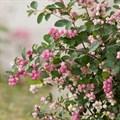 Снежноягодник Доренбоза - фото 4958